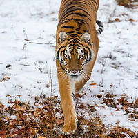 A Bengal Tiger in a snowy Forest hunting for prey.