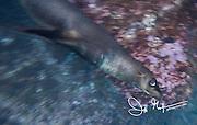 A Galapagos sea lion swims underwater off the coast of Espanola island, Galapagos islands, Ecuador.