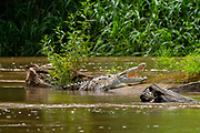 American crocodiles (Crocodylus acutus) on the river bank. Photographed in Costa Rica.