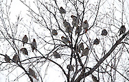 Bohemian waxwings in a tree on Waterfront Drive in Winnipeg, Sunday, February 3, 2013.