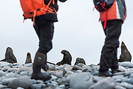 Antarctica, February 2018. Fur seals and elephant seals on the pebble beach between glaciers. . Fort Point, Barrientos Island, south Shetland Islands.   Dutch Tallship, Bark Europa, explores Antarctica during a 22 day sailing expedition. Photo by Frits Meyst / MeystPhoto.com
