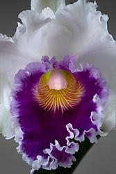 Cattleya Blc. Varut Rittenum orchid#6