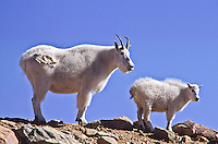 Mountain goats (Oreamnos americanus) A nanny and her kid on the alpine tundra.  Mount Evans, Colorado.