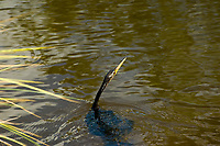 "Because the anhinga lacks the oils for buoyancy in its feathers like other birds, and it has a heavier skeleton than other diving birds, the swimming anhinga is completely submerged except for its head and long flexible neck, earning it the common nickname, ""snakebird."" This one was spotted in a bream-rich lake in Fort Myers, Florida."