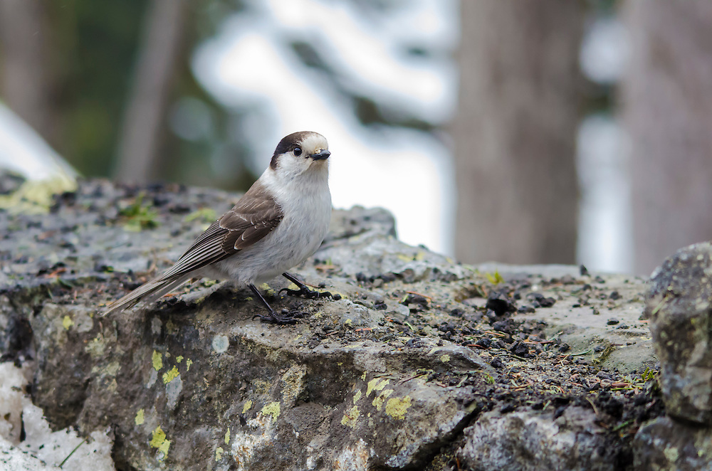 A gray jay pauses on a rock about halfway up Mount Rainier in the Pacific Northwest.