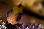 Forsterygion maryannae (Oblique-swimming triplefin)