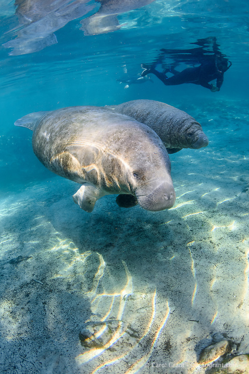 It is very touching to observe a mother manatee leading her young calf around the safe warm springs. Passive observation on the manatees' terms is the proper way as shown by this polite snorkeler. Manatee calves often have wrinkly skin folds. This male calf has lots of wrinkles and he is fat! His mom feeds him well..  Florida manatees come to Three Sisters Springs during the cooler months to rest and stay warm. Taken in the Crystal River National Wildlife Refuge, Kings Bay, Crystal River, Citrus County, Florida USA. Florida manatee, Trichechus manatus latirostris, a subspecies of the West Indian manatee