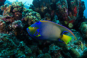 Queen Angelfish (Holacanthus ciliaris)<br /> BONAIRE, Netherlands Antilles, Caribbean<br /> HABITAT &amp; DISTRIBUTION: Blends in with corals and seafans on reefs<br /> Florida, Bahamas, Caribbean, Bermuda, Gulf of Mexico south to Brazil.
