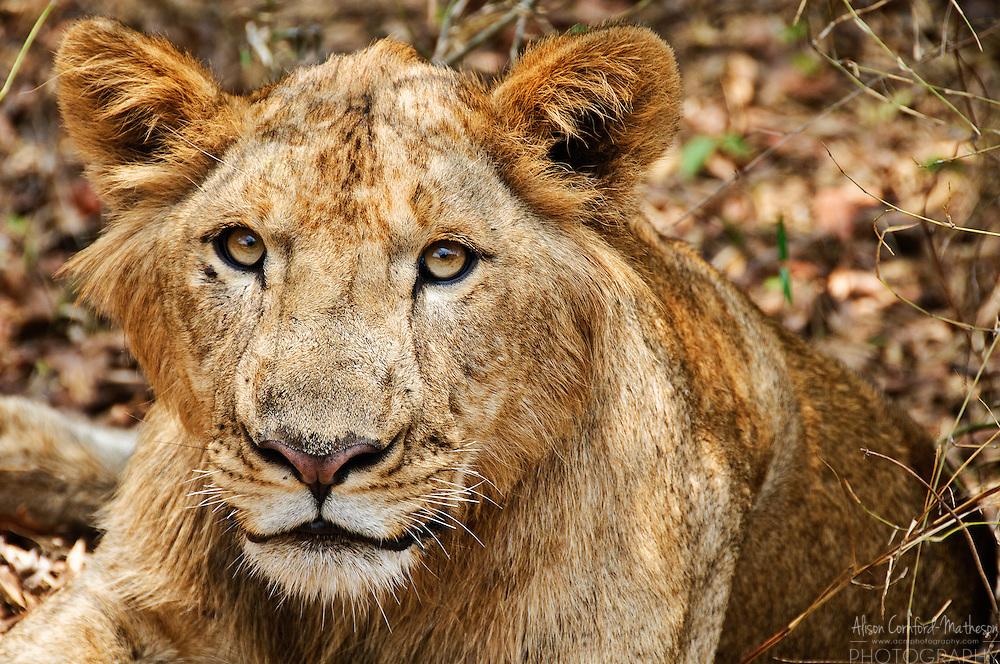 A lion at the Bangalore zoo