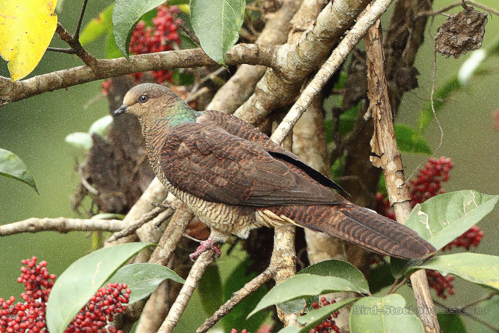 Barred Cuckoo-Dove, Macropygia unchall, Bhutan, by Markus Lilje
