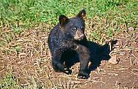 Black Bear cub (Ursus americanus).  Their color ranges from black to cinnamon.  South Dakota.