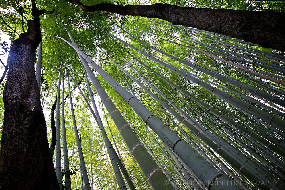 Tall trees mix with bamboos in Arashiyama forest. A dense green oasis 30 minute train ride north west of Kyoto in Japan..