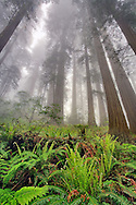 Low angle fisheye view skyward of Redwood trees in fog, Sequoia sempervirens, Redwood National Park, California