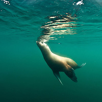 USA, Alaska, Angoon, Underwater view of Steller's Sea Lion (Eumetopias jubatus) swimming at ocean surface