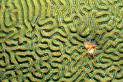 Horseshoe worm in brain coral. Buck Island Reef National Monument, St. Croix, US Virgin Islands