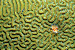 Horseshoe worm in brain coral. Buck Island Reef National Monument, St. Croix, US Virgin Islands
