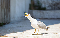THEMENBILD - URLAUB IN KROATIEN, eine Möwe aufgenommen am 03.07.2014 in Rovinj, Kroatien // a seagull in Rovinj, Croatia on 2014/07/03. EXPA Pictures © 2014, PhotoCredit: EXPA/ JFK