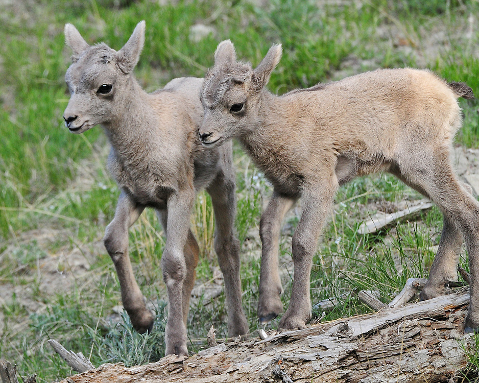 Less than a week old, these two bighorn sheep lambs watch as their mothers descend the cliffs near McMinn Bench to drink from the Gardner River. Ewes frequently congregate in this area to lamb before their summer migration to Electric Peak.