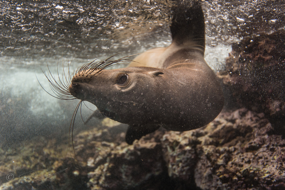 The Galapagos Sea lion seems to have a tendency to swim up-side down when appraoched by snorklers.