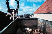 Nederland, Groesbeek 15-8-1994..Destructiebedrijf haalt een dood kalf van een boerderij. ..Foto: Flip Franssen/Hollandse Hoogte