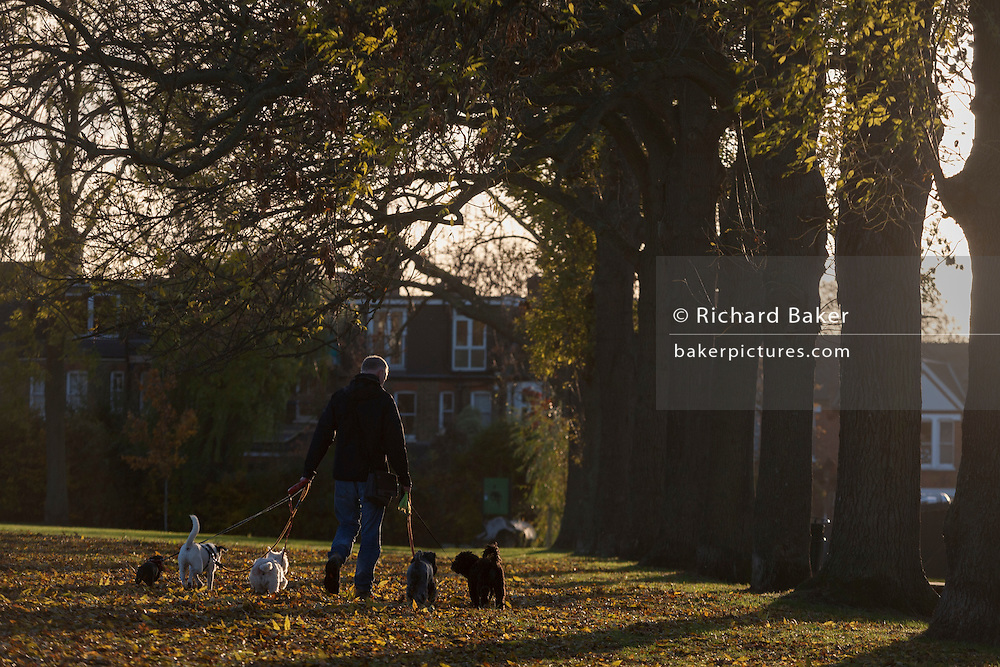 A dog walker exercises pets during an autumn afternoon in south London's Ruskin Park, Lambeth SE24.
