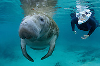 Florida manatee, Trichechus manatus latirostris, a subspecies of the West Indian manatee, endangered. Series of passive interaction, passive observation. A female snorkeler with a white mask observes an adult manatee. Polite, passive interaction, observation. The manatee's snout and whiskers are prominent. Horizontal orientation with blue spring water. Three Sisters Springs, Crystal River National Wildlife Refuge, Kings Bay, Crystal River, Citrus County, Florida USA.