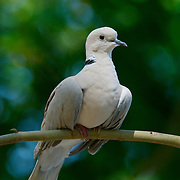 The Female Red Turtle Dove (Streptopelia tranquebarica), also known as the Red Collared Dove