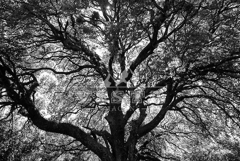 "Arvore acoita-cavalo ""Luehea divaricata"", Estancia do 28, Fundacao Maronna, Area de Protecao Ambiental do Ibirapuita, Alegrete, Rio Grande do Sul, Brasil. Foto de Ze Paiva, Vista Imagens"