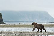 A brown bear sub-adult searches for salmon in the lower lagoon at the McNeil River State Game Sanctuary on the Kenai Peninsula, Alaska. The remote site is accessed only with a special permit and is the world's largest seasonal population of brown bears in their natural environment.