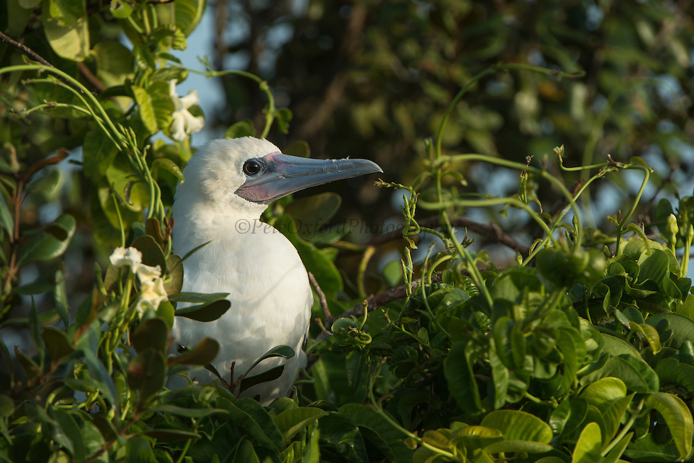 Red-footed Booby (Sula sula) white morph<br /> in Ziricote trees (Cordia dodecandra)<br /> Halfmoon Caye colony<br /> Lighthouse Reef Atoll<br /> Belize<br /> Central America