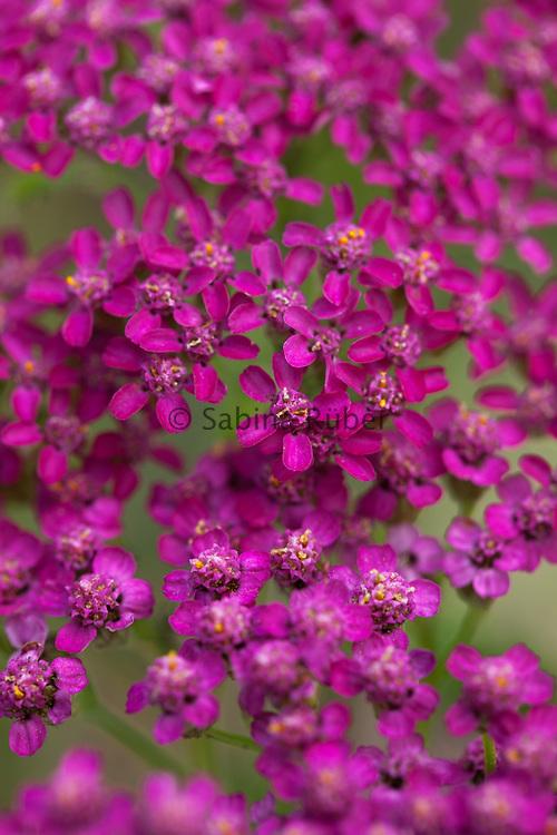 Achillea millefolium 'Cerise Queen' - yarrow