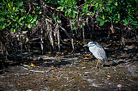 Yellow-crowned Night Heron. Weedon Island Nature Preserve, Pinellas County, Florida. Image taken with a Nikon D300 camera and 80-400 mm VR lens (ISO 200, 400 mm, f/5.6, 1/500 sec)