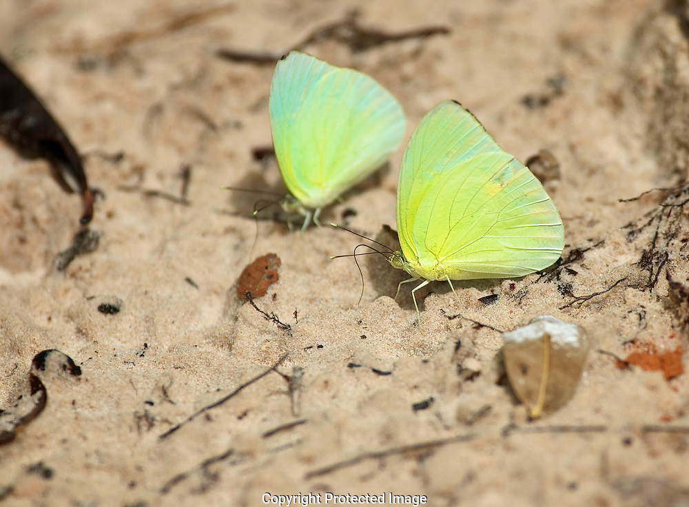 Sulfer Butterfly. (Phoebis sp), Brazil, , Brasil, Isobel Springett