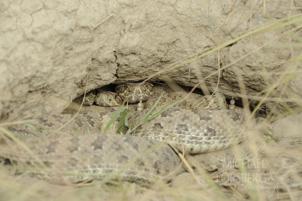 Near Medicine Hat, Alberta. ..Prairie rattlesnakes at den above Peigan Creek  at Peigan Creek conservation area...