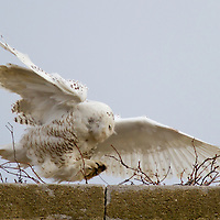 "The Snowy Owl (Bubo scandiacus) seen perched on the chimney of a building located on ""Officers Rows"" part of Fort Hancock at Sandy Hook Gateway National Park in Monmouth County New Jersey."