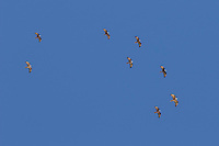 Flock of Honey Buzzard Pernis apivorus flying against blue sky over Eilat Mountains on migration, Israel.