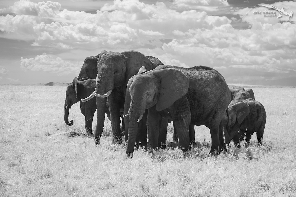 A herd of African bush elephant (Loxodonta africana) photographed in near-infrared, Serengeti, Tanzania