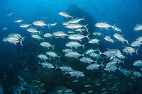 Schooling Jacks under a reef pinnacle<br /> <br /> <br /> Shot at Cocos Island, Costa Rica