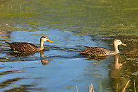 Mottled ducks, swimming, Green Cay Nature Reserve, Florida