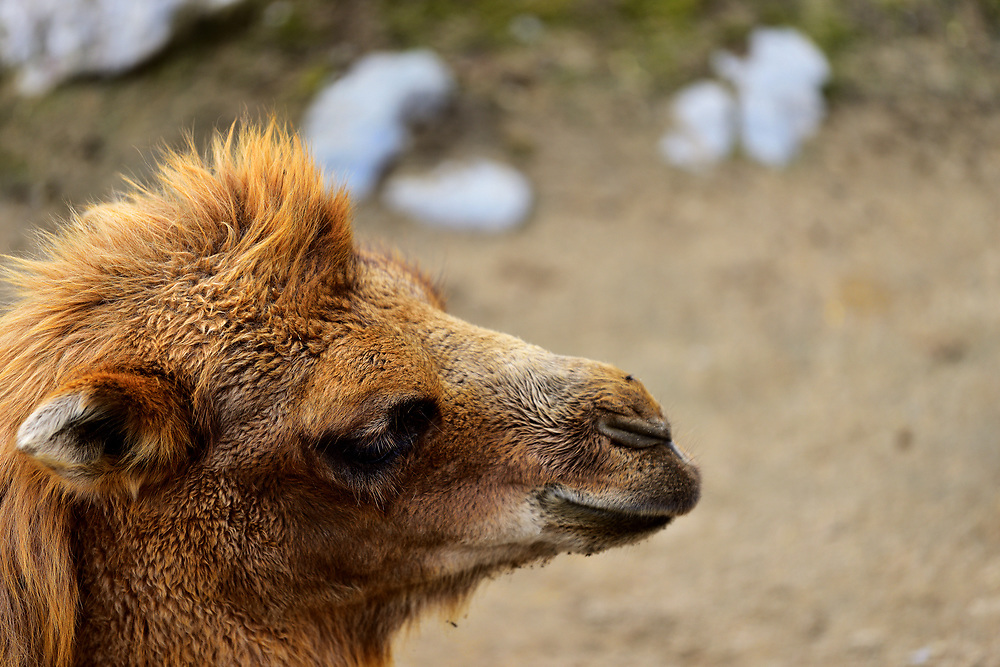 Camel of Bactriane in Saint Félicien's zoo in Quebec. Chameau de Bactriane dans le zoo de Saint-Félicien au Québec.
