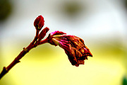 Soft selective focus of a drying flower on yellow background