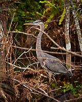 Great Blue Heron outside Clyde Butcher's Gallery. Winter Nature in Florida Image taken with a Nikon D4 camera and 80-400 mm VRII telephoto zoom lens.