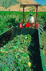 Harvesting Grapes Vineyard Agriculture