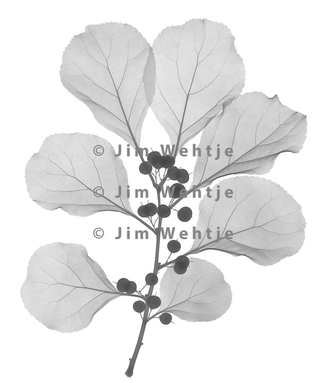 X-ray image of Oriental bittersweet (Celastrus orbiculatus, black on white) by Jim Wehtje, specialist in x-ray art and design images.