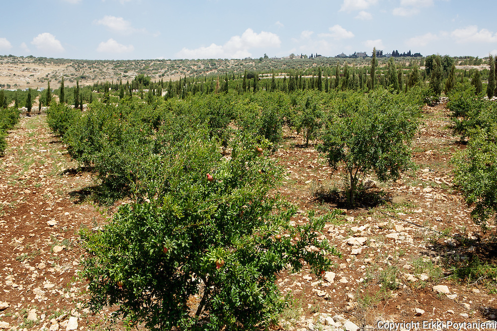 Pomegranate grove.