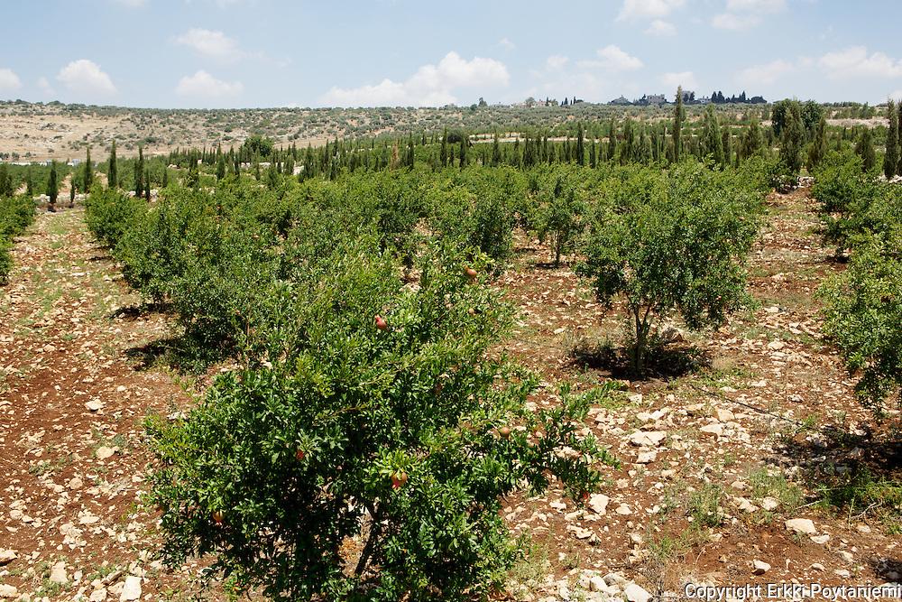 Pomegranate grove.