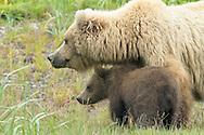 Alaskan Brown Bear Sow Guarding Cub in Meadow, Lake Clark National Park, Alaska