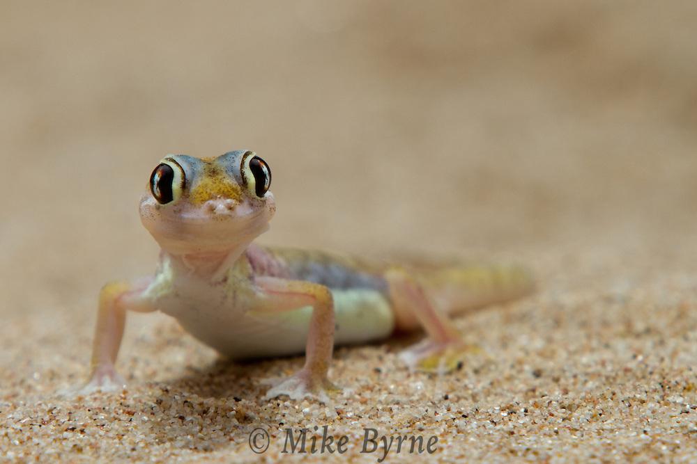 Namib Dune Gecko (Pachydactylus rangei) near Swakopmund, Namibia.