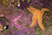"""Starfish at the Seattle Aquarium, Washington. Starfish or sea stars are any echinoderms belonging to the class Asteroidea. The """"star fish"""" usually hunt for shelled animals such as oysters and clams. They have two stomachs, one used for digestion, and the other stomach can be extended outward to engulf and digest prey much larger than its mouth. Most starfish have 5 arms, which can be regenerated if lost."""