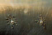 Partnergarnelen (Pliopontonia furtiva) ist fast durchsichtig
